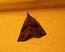 Gray-edged Bomolocha Moth (Hypena madefactalis) in South Knoxville, Tennessee.jpg