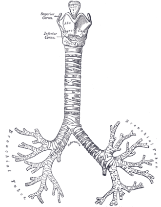Carina of trachea - Cartilages of larynx, trachea and bronchi. (Carina is at the point of bifurcation.)