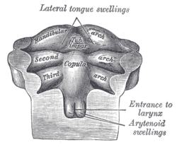 Floor of pharynx of human embryo of about the end of the fourth week.