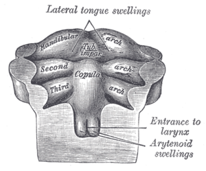 Median tongue bud - Floor of pharynx of human embryo of about the end of the fourth week.