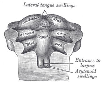 Copula linguae - Floor of pharynx of human embryo of about the end of the fourth week.