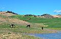 Grazing cows, İmamoğlu 01.jpg