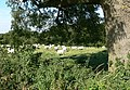 Grazing sheep - geograph.org.uk - 538012.jpg