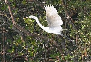 Sajnakhali Wildlife Sanctuary - Image: Great Egret (Casmerodius albus)