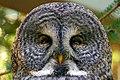 Great Grey Owl (Strix nebulosa) (37310719232).jpg