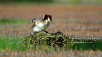 File:Great crested grebe (Podiceps cristatus) in the wild.webm