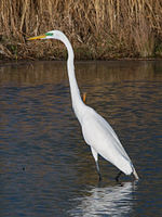 File:Great egret (Ardea alba) with green facial skin.jpg