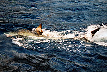 Photo of shark swimming at water surface