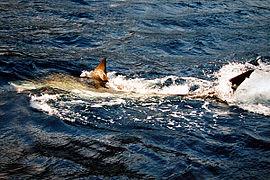 Great white shark 1001.jpg