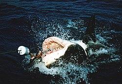 Tubar�o-branco, a ser capturado