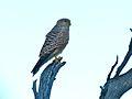 Greater Kestrel (Falco rupicoloides) (6880816284).jpg
