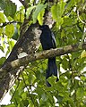 Greater Racket-tailed Drongo (Dicrurus paradiseus) - Flickr - Lip Kee (1).jpg