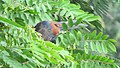 Greater coucal 04.jpg