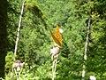 Greek butterflies4.jpg