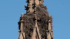 File:Green-Wood Cemetery parrots (54862).webm