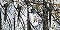 Green-billed Malkoha (Phaenicophaeus tristis) at Jayanti, Duars, West Bengal W.jpg