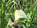 Green-veined White Butterfly at College Lake - geograph.org.uk - 1397588.jpg