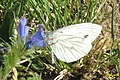 Green-veined white (NH park) (10929588023).jpg