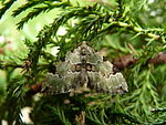Green Carpet Moth (4660557305).jpg
