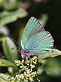 Green Hairstreak (27024869196).jpg