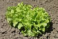 Green Oak Leaf lettuce J1.jpg