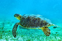 Marine turtle swimming