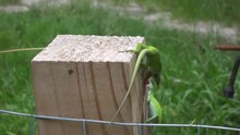 Fichier:Green anoles in a territorial fight.webm