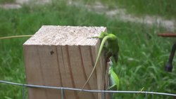 Archivo:Green anoles in a territorial fight.webm