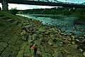 Greylag Geese Loschwitzer Brücke 107051285.jpg