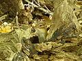 Griffy Woods - chipmunk - P1100472.JPG