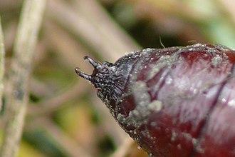 Glossary of entomology terms - Cremaster of pupa of the oak owl moth, Griposia aprilina