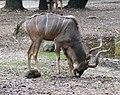 Grosser Kudu Tragelaphus strepsiceros Tierpark Hellabrunn-15.jpg