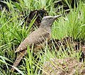Ground woodpecker 2013 10 23 1969.jpg