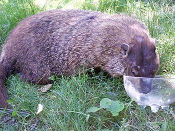 Groundhog-drinking