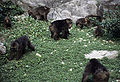 Groupe de Macaca thibetana.jpg