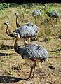 Grupo de Emas - Rhea americana.jpg
