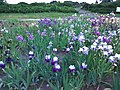 Gryshko Botanical Garden (May 2019) 15.jpg