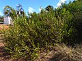 Guajuru (Chrysobalanus icaco) 03.jpg