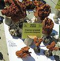 Gyromitra fastigiata Kiev1.jpg