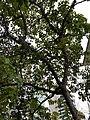 HK ML 香港半山區 Mid-levels 上亞厘畢道 Upper Albert Road flora green leaves April 2020 SS2 12.jpg