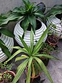 HK Mid-levels High Street clubhouse green leaves plant February 2019 SSG 73.jpg