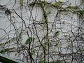 HK SW 上環 Sheung Wan 磅巷 Pound Lane wall climbing plants Jan 2017 Lnv2 002.jpg
