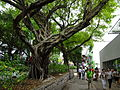 HK TST Nathan Road green Sidewalk Chinese Banyan trees Aug-2015 DSC (15).JPG
