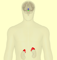 HPA-axis - anterior view.png