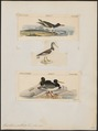 Haematopus palliatus - 1700-1880 - Print - Iconographia Zoologica - Special Collections University of Amsterdam - UBA01 IZ17300009.tif
