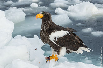 Steller's sea eagle - A Steller's sea eagle near Rausu, Hokkaido, Japan