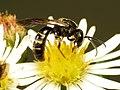 Halictid Bee (31718330442).jpg