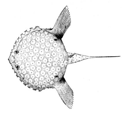Halieutichthys aculeatus 2