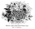 Haricot nain extra-hâtif Prince noir Vilmorin-Andrieux 1904.png