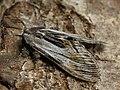 Harpyia milhauseri ♂ - Tawny prominent (male) - Шелкопряд Мильгаузера (самец) (40242101915).jpg